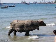 Betonová kráva na pláži. Sihanoukville, Kambodža