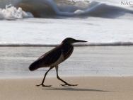 Pták na pláži. Varkala, Kerala, Indie