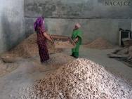 Sušení zázvoru. Kochi. Kerala, Indie
