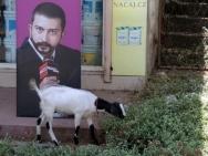 Volby. Koza ve Fort Kochi. Kerala, Indie