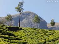Čajová plantáž. Munnar, Kerala - Indie