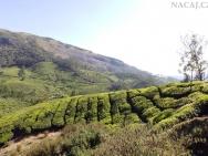 Čajové plantáže. Munnar, Kerala - Indie