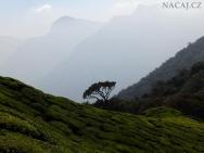 Hory a čajové plantáže. Munnar, Kerala - Indie