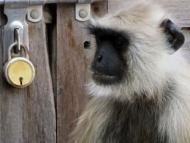 Monkey Opičák, náš soused. Pushkar, Rajastan, Indie