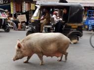 Bežná situace na ulici. Ajmer u Pushkaru.