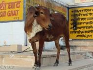 Kráva na Ghats. Pushkar, Rajastan, Indie