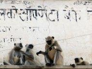 Opice v Puškaru