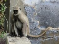 Opice. Pushkar, Rajastan, Indie
