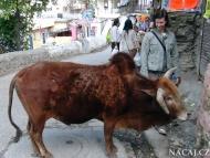 Kráva - Rishikesh, Uttarakhand, Indie
