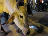 Žebrající kráva, žebrala, žebrala, vyžebrala