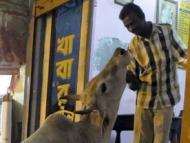 Žebrající kráva. Varanasi, Uttar Prades, Indie