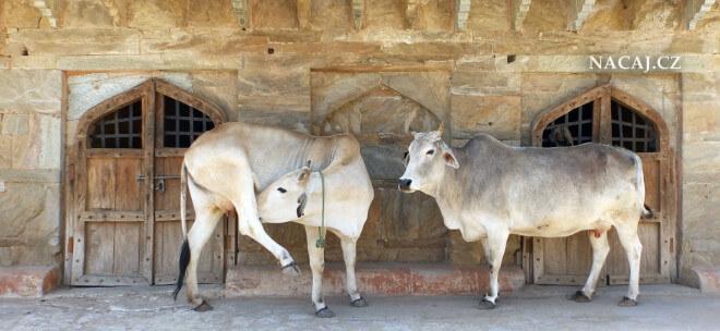 Krávy na ulici. Jaipur, Rajasthan, Indie
