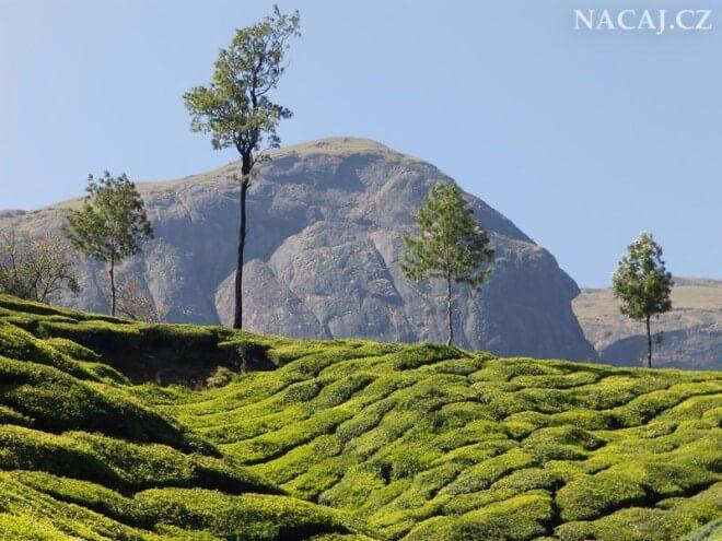 Čajové plantáže. Munnar, Kerala, Indie